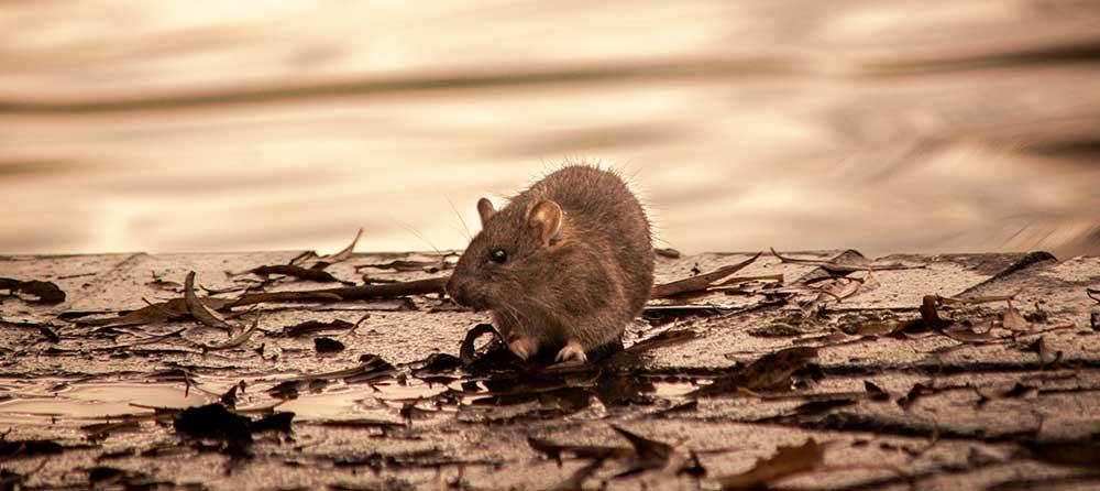 How to Control Rat Infestation through Drain Surveys - Blog